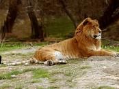 El ligre es un animal híbrido producto del cruce entre un león y una tigresa