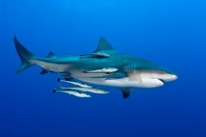 Es el tiburón quién hace el esfuerzo de nadar y la rémora quien se adhiere al tiburón y se deja llevar.